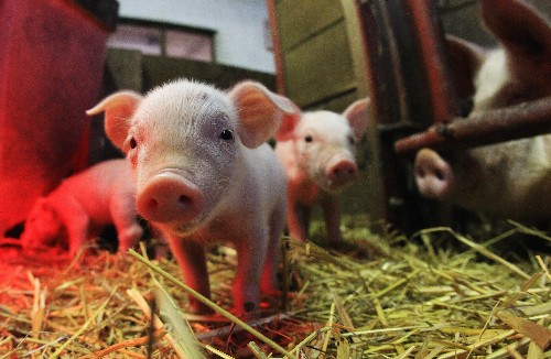 Scientists are one step closer to using pig hearts for human transplants
