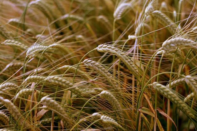 Illegal genetically modified wheat appeared in Oregon, and no one's sure how it got there