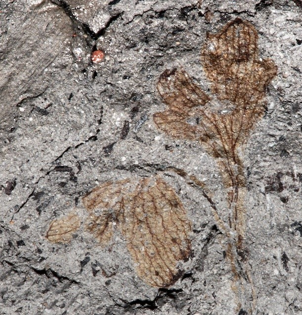 North America's oldest flowering plant discovered inside a museum