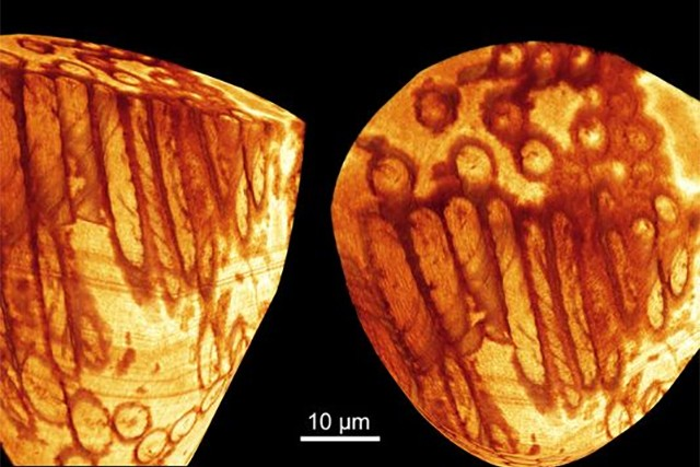 Giant 17-million-year-old sperm discovered