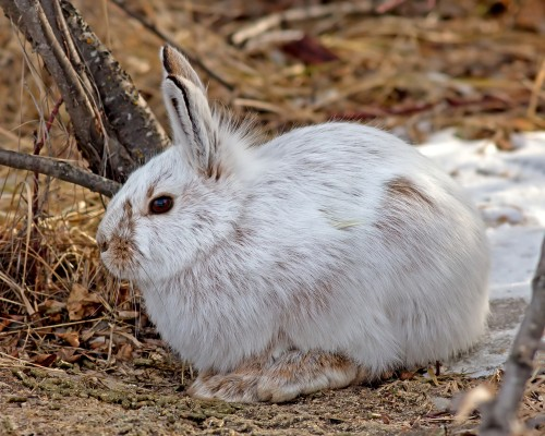 Snowshoe hares become easy prey as they struggle to keep up with climate change