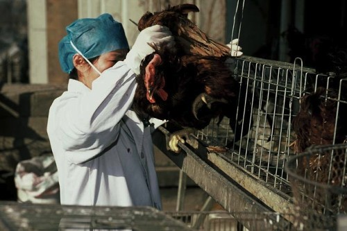 Why is China a hot zone for the deadliest strains of bird flu?