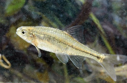 Oregon chub is the first fish saved by Endangered Species Act