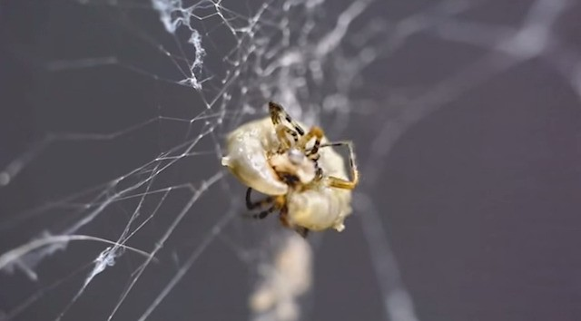 Zombie spider builds a stronger web for the parasitic wasp that's sucking its blood