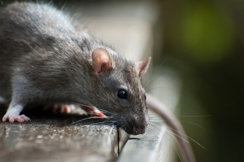 Brain activity continues in rats after clinical death, study finds