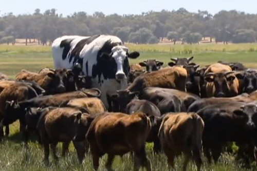 Knickers, the extremely large cow, isn't actually a cow