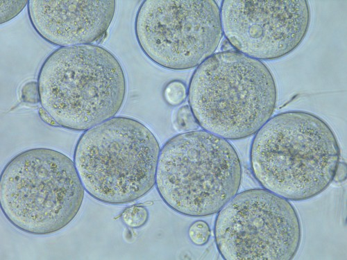 Scientists discover the protein interaction that triggers conception