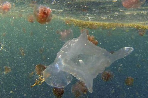 Giant new species of lethal jellyfish discovered in Australian waters