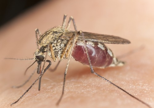 Extreme close-up shows you how a mosquito really bites your flesh and sucks your blood