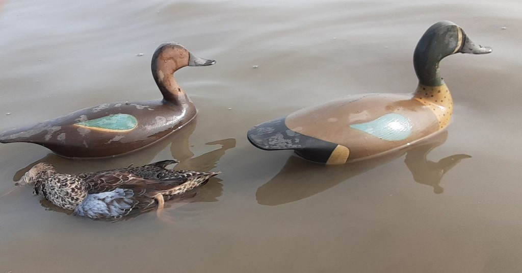 Teal in Illinois: Numbers, charts, wooden decoys and hunting success in Aaron Yetter's latest blog