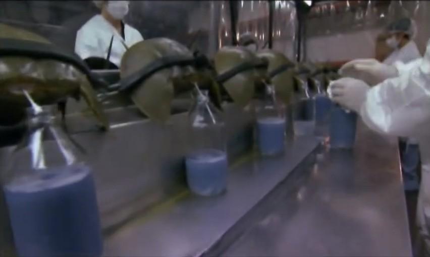 The business of bleeding horseshoe crabs