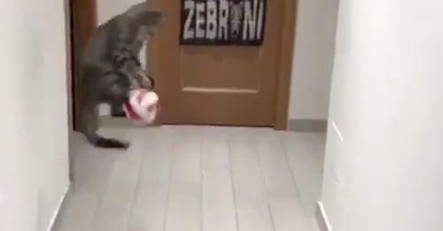This cat is pound for pound the best goalkeeper in the world