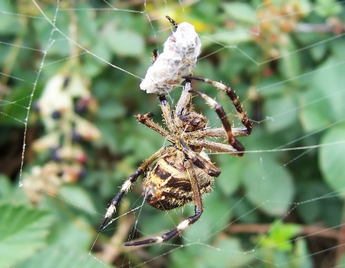 Spider webs use electricity to attract prey, study finds