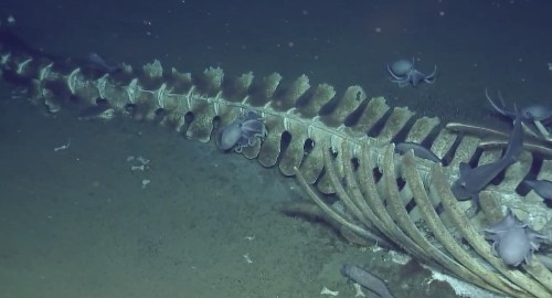 This live stream of a whale skeleton getting eaten is metal as hell