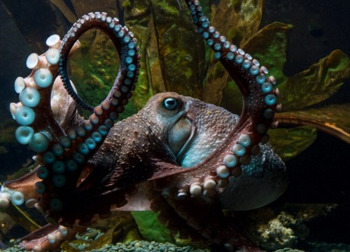Octopus escapes laboratory, continuing long tradition of octopi outsmarting humans