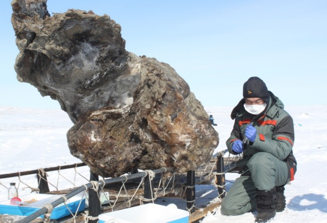 Liquid woolly mammoth blood found preserved in Russian ice, researchers report