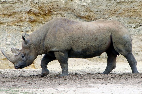 Permit to hunt an endangered black rhino is auctioned off for $350,000
