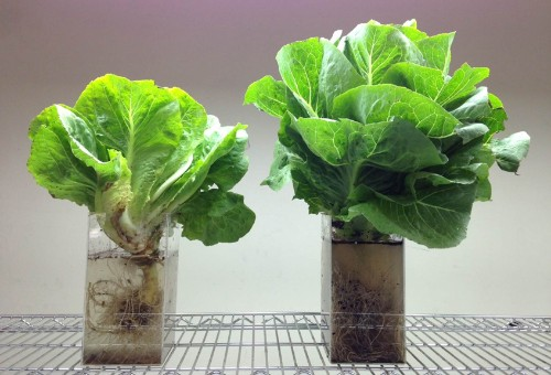 Fujitsu is selling lettuce grown in a computerized clean room