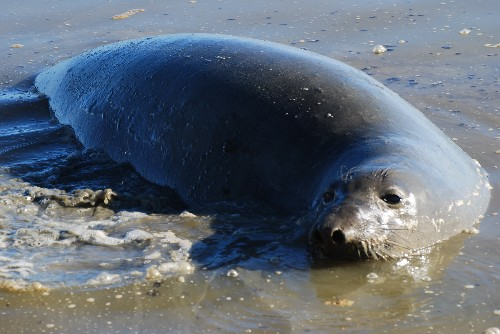 A 900-pound elephant seal shut down Highway 37 because she could