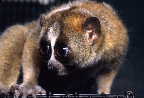 The Verge Review of Animals: the slow loris