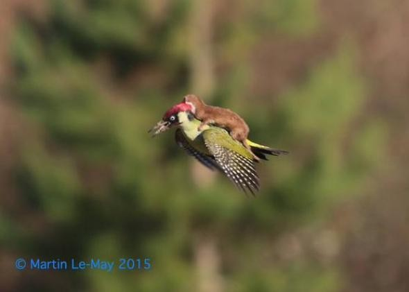 Three steps to weasel-woodpecker acceptance
