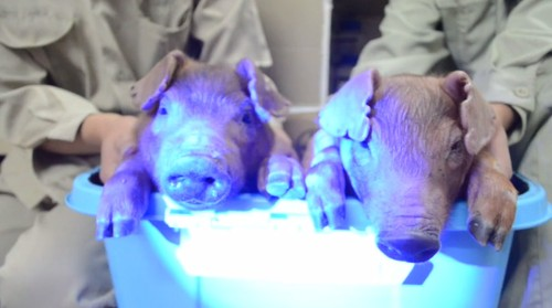 Scientists create glow-in-the-dark pigs using jellyfish DNA