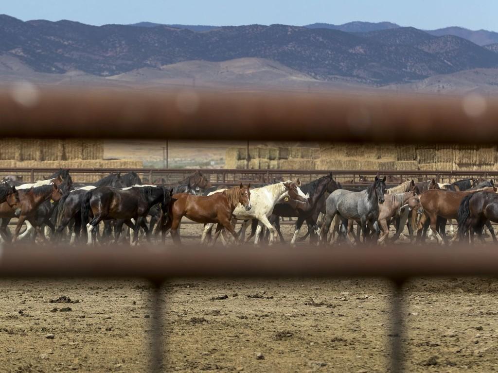 Utah's wild horses face an uncertain future