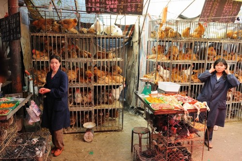 The end of H7N9? No new bird flu cases reported in over a week