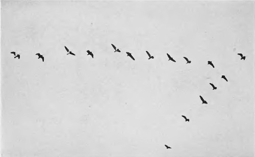 The science behind why birds fly in a V-formation