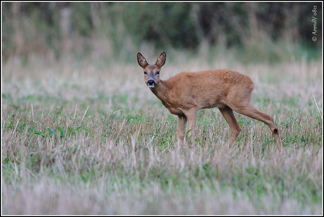 Climate change is increasing infant mortality among deer, new study finds