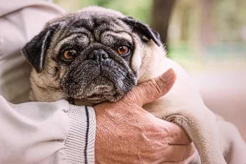 Scientists have discovered a mutation behind pugs' weird little flat faces