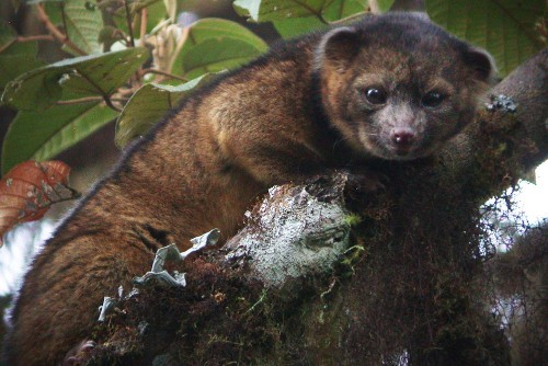 Meet the olinguito: scientists discover adorable new animal species
