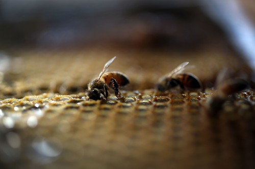 Bee loss worsens as 44 percent of US colonies disappear over last year