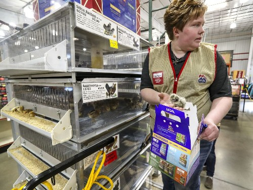 Chick sales in Utah are soaring during pandemic, earthquake aftermath. Here's why