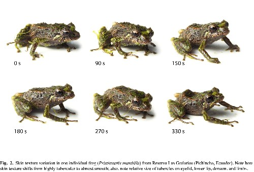 Shape-shifting 'punk rocker' frog goes from spiny to smooth in minutes
