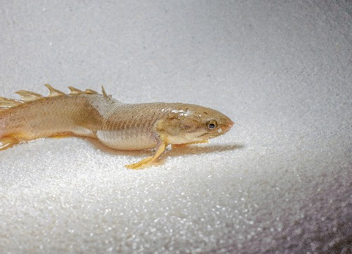 Scientists raised these fish to walk on land