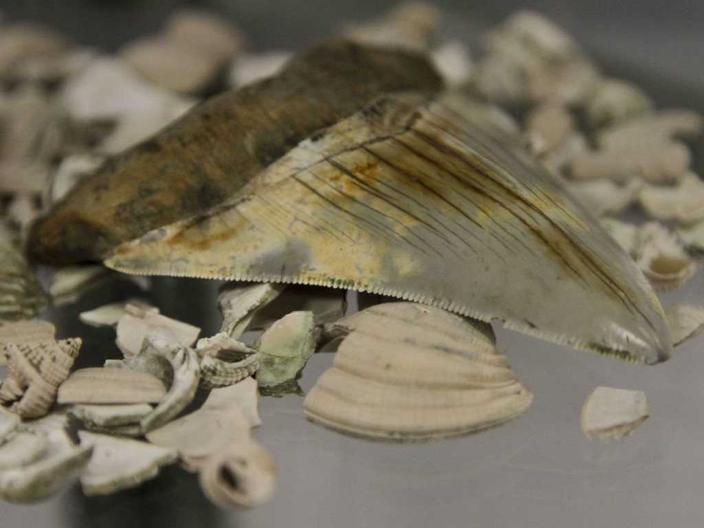 Researchers reveal the full size of the megalodon shark for the first time