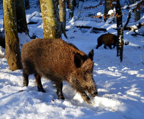 Radioactive pigs are wandering Central Europe, 30 years after the Chernobyl nuclear disaster