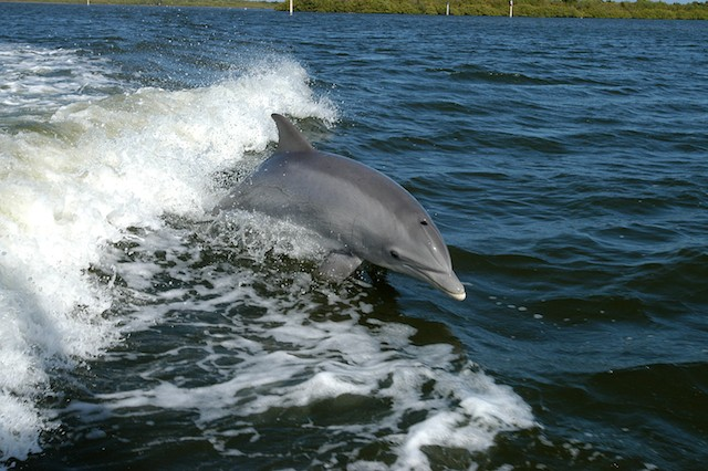 Dolphins parallel human communication with use of distinct names
