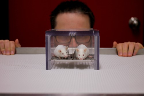 Lab mice fear men but not women, and that's a big problem for science