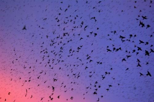 Sudden mass death of birds over Winnipeg, Canada, remains a mystery