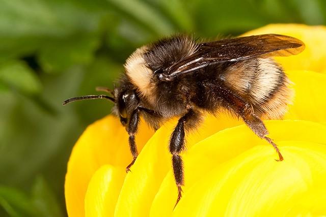 Lost bumblebee species returning to northwest coast