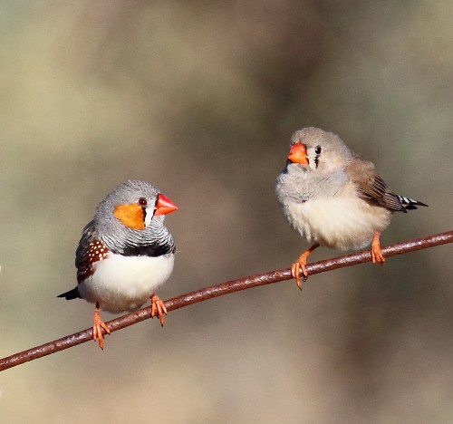 Zebra finches sing to eggs to prepare babies for global warming