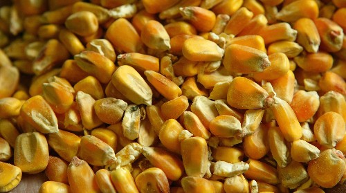 Scotland will ban the cultivation of genetically modified crops