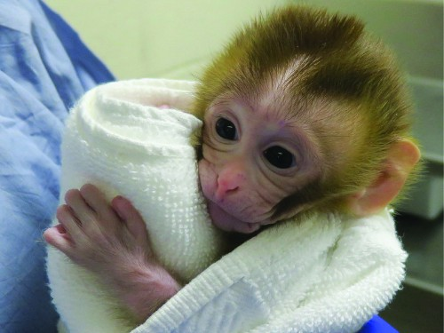 Sperm from a frozen chunk of testicle helped create this baby monkey