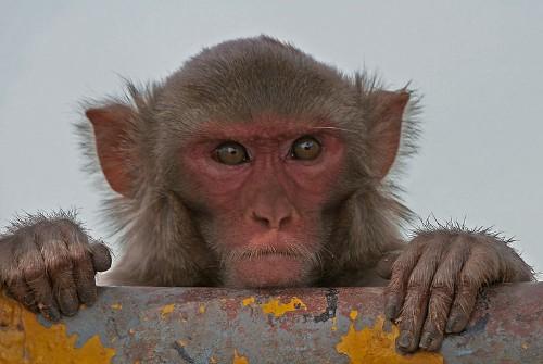 Study confirms monkeys can do math