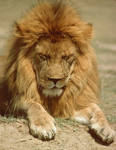 How domesticated dogs made Serengeti lions sick
