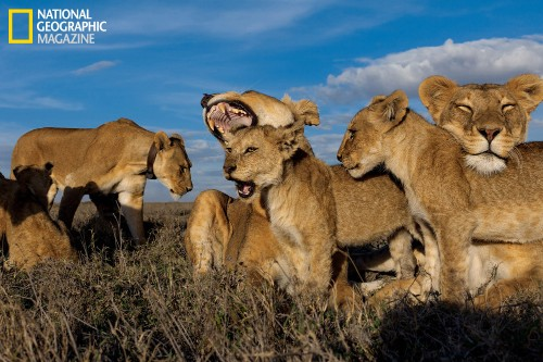 National Geographic uses drones and robots to capture stunning images of African lions