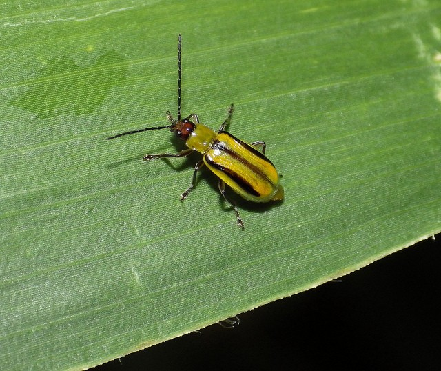 The hunter becomes the hunted: insect evolves to eat poisonous corn