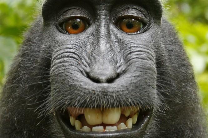 Wikimedia denies photographer's claim to a monkey's selfie